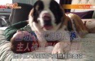 (粵) 聖班納犬「愛的抱抱」  主人被重量級「擊倒」