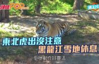 (粵)東北虎出沒注意  黑龍江雪地休息