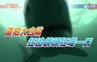 (粵)直拍大白鯊 狂追鏡頭狂咬一口