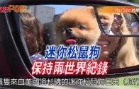 (粵)迷你松鼠狗保持兩世界紀錄