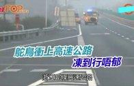 (粵)駝鳥衝上高速公路 凍到行唔郁