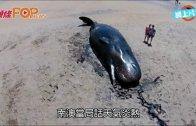 (粵)7條抹香鯨擱淺  南澳下禁足令