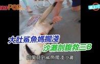 (粵)大肚鯊魚媽擱淺  沙灘剖腹救三B