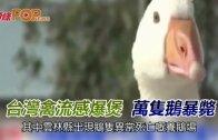 (粵)台灣禽流感爆煲 萬隻鵝暴斃