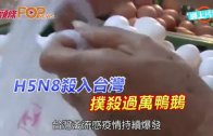 (粵)H5N8殺入台灣 撲殺過萬鴨鵝