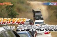 (粵)花豹攻擊導游  遭吉普車來回輾斷腿