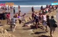 (粵)民眾救救大白鯊 齊心拖返大海