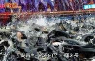 (粵)1.75米180斤杭州魚王 身價或過萬破紀錄