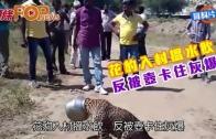 (粵)花豹入村搵水飲  反被壺卡住灰爆