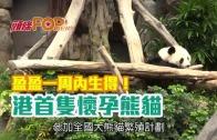 (港聞)盈盈一周內生得! 港首隻懷孕熊貓