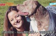 (粵)曾被剪耳拔牙 比特犬Nana重過新生