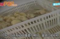 (粵)法鵝肝廠恐怖實錄 日殺六千隻雌鴨