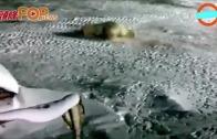 (粵)俄廚師貪玩餵炸藥  北極熊慘痛噴血