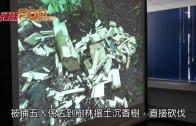 (港聞)非法砍伐土沉香  五內地漢南丫島被捕