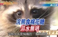 (粵)浣熊食棉花糖 濕水無曬
