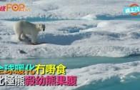 (粵)全球暖化冇嘢食  北極熊殺幼熊果腹