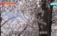 (粵)日本櫻花期預測 東日本或可提早睇