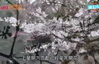 (粵)東京櫻花開啦  預計月尾將會盛開