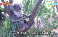 (港聞)海洋公園一南澳樹熊 患不治症需安樂死