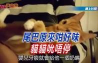 (粵)尾巴原來咁好味 貓獵吮唔停