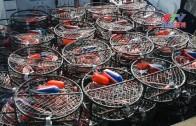 (粵)捕蟹解禁 漁民忙碌商家減存貨