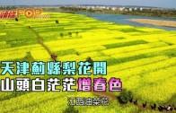 (粵)天津薊縣梨花開 山頭白茫茫增春色