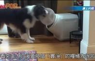 (粵) 偷食能手  狗狗開蓋食完再拎番蓋