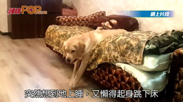 (粵) 狗狗懶到出汁  落地都要滑落去