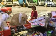 (粵)撤退尖東後 忌廉哥給貓奴們的信