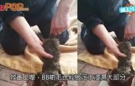 (粵)狐狸BB跌落坑渠  媽媽不離不棄守候