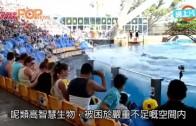 (粵)殺人鯨又自殘擱淺 唔肯落水10分鐘