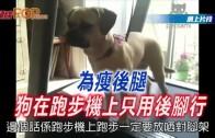 (粵)為瘦後腿 狗在跑步機上只用後腳行