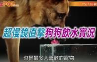 (粵)超慢鏡直擊狗狗飲水實況