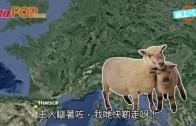 (粵)趁主人瞓覺著草  千隻綿羊闖西班牙街頭