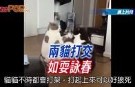 (粵)兩貓打交 如耍詠春