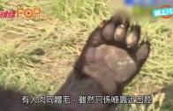 (粵)秋田縣黑熊有人體組織  專家話疑當人做食物