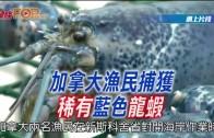 (粵)加拿大漁民捕獲稀有藍色龍蝦