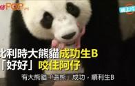 (粵)比利時大熊貓成功生B 「好好」咬住阿仔