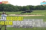 (粵)以為見到恐龍! S級巨鱷慢行高球場