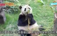 (港聞)大熊貓盈盈傳有喜  最快本周有結果