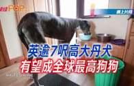 (粵)英逾7尺高大丹犬 有望成全球最高狗狗