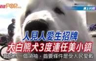 (粵)人見人愛生招牌  地大白熊犬3度連任美小鎮榮譽鎮長