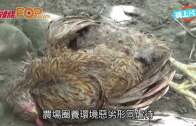 (粵)北極狐甩毛 駱駝生瘤  花蓮農場否認虐待