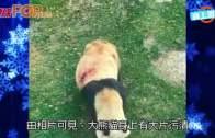 (粵)蘭州熊貓負傷暴瘦  動物園:被竹刺傷
