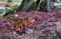 (粵)紐國7.8級震出鮑魚  漁民設法救巨型黑金鮑