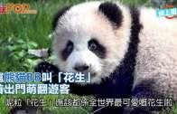 (粵)滬熊貓BB叫「花生」  首出門萌翻遊客