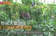 (港聞)4野豬大圍散步  奮力衝破漁護網陣