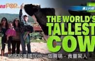 (粵)高6呎4吋世界第一高牛 問鼎健力士世界紀錄