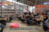 (港聞)首宗外地傳入H7N9 常平回港老翁聖誕亡