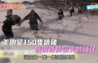 (粵)差啲變150隻燒豬  俄消防員冒火救豬仔